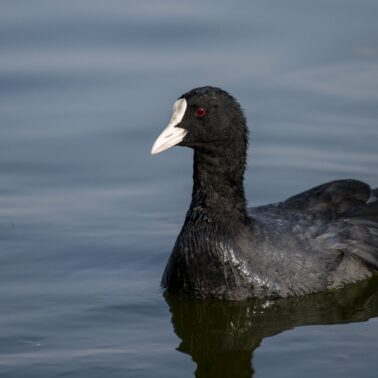 common coot1